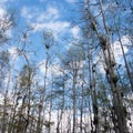 Looking up at the sky through cypress trees.- Loop Road Scenic Drive