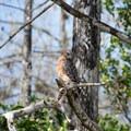 Red-shouldered hawk.- Loop Road Scenic Drive