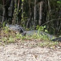 Alligator on the road.- Loop Road Scenic Drive