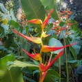 Birds of paradise.- Harold L. Lyon Arboretum