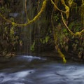 Icy Creek Springs, maidenhair ferns, and devil's club.- Icy Creek Spring in the Green River Gorge
