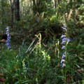 Wildflowers bloom in this coastal forest nearly all year.- Palmetto Trail: Awendaw Passage