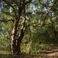 Twisted trees and vines shading the trail.- Palmetto Trail: Awendaw Passage