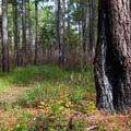 Traces of fire, which is a natural part of the ecosystem here.- Palmetto Trail: Awendaw Passage