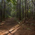 Much of the route is through young pine forest.- Palmetto Trail: Awendaw Passage
