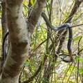 A racer snake looking for a meal in the trees.- Palmetto Trail: Awendaw Passage