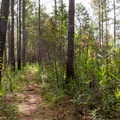 A singletrack passage among pine trees and brush.- Palmetto Trail: Awendaw Passage