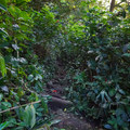 A very brief trail passes through tall tropical plants.- Haipua'ena Falls