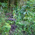 The unsigned trail begins heading upriver through the tropical foliage.- Punalau Falls