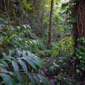 A short portion of the trail follows an often-muddy footpath. - Punalau Falls