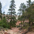 Ponderosa pines and sandstone in Zion National Park.- Zion's Petroglyph Canyon