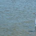 Great egret.- The Causeway