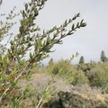 Branches of mountain mahogany.- Big Nasty Trail + Hidden Valley
