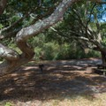 Twisted live oak branches.- Myrtle Beach State Park Campground