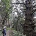 Massive tree along the trail.- Tarwater Trail