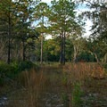 Pine trees and palmettos line the trails.- Price's Scrub State Park