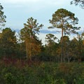 Sunset at Price's Scrub lights up the pine forest.- Price's Scrub State Park