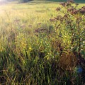 The prairie comes to life in late spring following annual burns. Green grasses and stunning wildflowers take over the rolling hills. - Konza Nature Preserve
