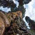 A towering sequoia along the Muir Grove Trail, Sequoia National Park.- Muir Grove Trail
