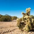 A cholla cactus along the Wild Horse Trail.- Wild Horse Trail