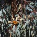 A monarch butterfly clings to a eucalyptus branch at Huntington Beach Central Park. - Huntington Central Park Monarch Grove