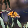 A monarch rests in the sunlight in Huntington Beach's Central Park.- Huntington Central Park Monarch Grove