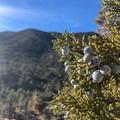 California Juniper.- Wildrose Peak
