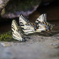 A group of butterflies gather to feed next to the river. - Shining Rock via Big East Fork
