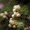 Fungus found near one of the campsites near Shining Rock summit.- Shining Rock via Big East Fork