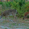 Deer in the campground.- T. H. Stone Memorial St. Joseph Peninsula State Park Campground