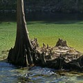 Cypress trunk and knees next to the river. - Madison Blue Springs