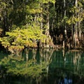 Cypress tree branches hang over the water's surface. - Manatee Springs State Park