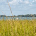 Great egret in the cordgrass.- Huggins Island Water Trail