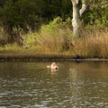 A raccoon happily hunting clams in a pond.- Shackleford Banks