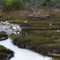 A flock of white ibises.- Shackleford Banks
