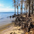 Cypress knees grow from the root structures at the edge of Lake Pontchatrain.- Fontainebleau State Park