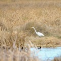 A great egret hunts in the wetlands marsh near the wildlife viewing area.- Fontainebleau State Park