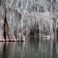 Cypress groves make a picturesque paddling environment.- Lake Martin Paddling