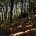 Dark grove of balsam fir early in the trail.- Roan Highlands: Carver's Gap to Grassy Ridge