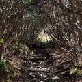 Rhododendron tunnel along the trail to Grassy Ridge Bald.- Roan Highlands: Carver's Gap to Grassy Ridge