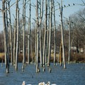Some pelicans in the reservoir near the marina. - Poverty Point Reservoir State Park