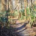 Palmetto forest along the northern portion of the trail marks a drier area of the trail.- Bonnet Carre Spillway