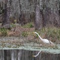 An egret in the refuge area. - Champagne's Cajun Swamp Tours