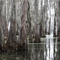 Dramatic cypress groves along Lake Martin.- Champagne's Cajun Swamp Tours