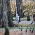 A great blue heron in a marsh along the Riverwalk Trail.- Riverwalk Trail