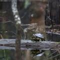 A turtle warms itself on a log in the wetlands.- Riverwalk Trail