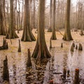 Beautiful Cypress swamps along the Bald Cypress Trail. - Louisiana State Arboretum Preservation Area