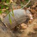 An armadillo. It's easy to spot wildlife out here! - Louisiana State Arboretum Preservation Area