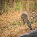 A deer was spotted on the drive just past the visitor center. - Louisiana State Arboretum Preservation Area