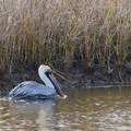 A brown pelican in Shell Canal.- Blue Goose Nature Trail